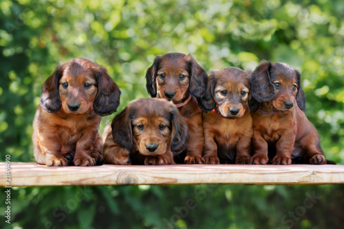 Group Of Dachshund Puppies Posing Together Outdoors Stock Photo And