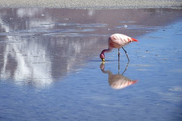 The closeup picture of flamingo bird eating naturally at the lake with beautiful reflection in water of mountain and flamingo.