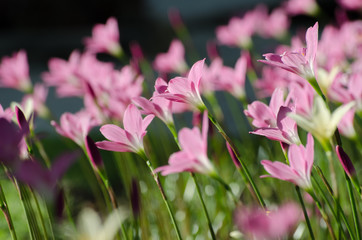 Pink Lily flower, Purple, pink, red, cosmos flowers in the garden with blur background in vintage style soft focus.