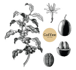 Coffee branch,Coffee flower,Coffee bean hand drawing vintage clip art isolated on white background