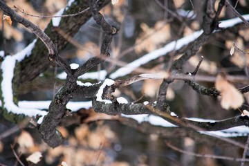 Snow gathering on brown tree branches in the winter