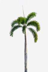 Palm tree  on  isolated white background with Clipping paths