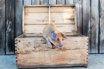 Funny red pig sits in chest. Copy space. 2019 Year Yellow Pig