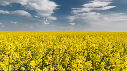 Blooming rapeseed under blue sky with white clouds. Brassica napus. Romantic floral background of golden canola field in spring landscape. Idea of agriculture, farming, ecology.
