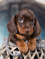 Dachshunds puppy