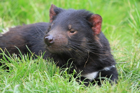 tasmanian devil on green grass in Tasmania