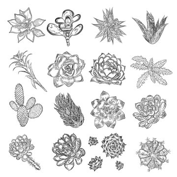 Drawing cactus set. Succulent bouquets elements for invitations, greeting cards, covers and other items. Vector.
