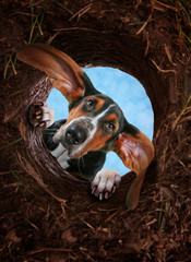 curious basset hound digging a hole in the dirt