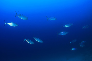 Tuna fish live in ocean