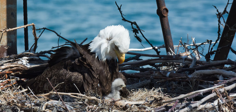 Mom and baby Bald Eagle