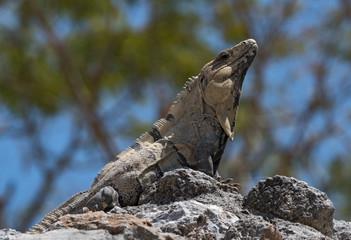 black spiny iguana, black iguana or black ctenosaur in the ruins of the former mayan city edzna, mexico