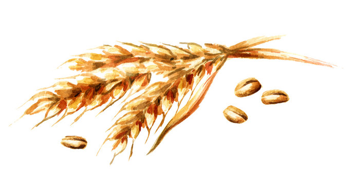 Ears of wheat and seeds. Watercolor hand drawn illustration, isolated on white background