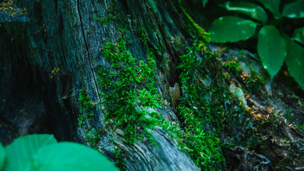 Green Moss on a Tree Trunk in the Forest. Close-up of green Moos on a Tree. View to on old mossy Tree in Spring. Moss and Nature Backgrounds.