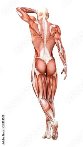 3D Rendering Female Anatomy Figure on White\