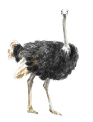 a watercolor illustration of an ostrich, an animal in Africa or a zoo