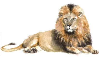 watercolor illustration of a lion, drawing by the hand of a wild predatory African animal