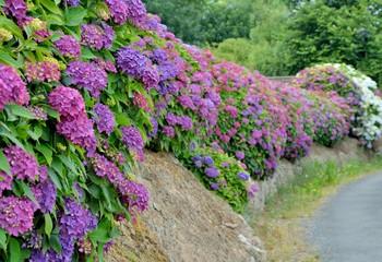 Magnifique haie d'hortensias en Bretagne