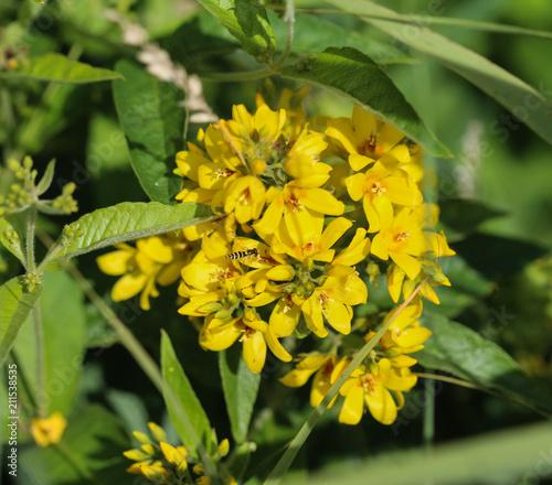 Lysimachia vulgaris flower the garden loosestrife yellow lysimachia vulgaris flower the garden loosestrife yellow loosestrife or garden yellow loosestrife mightylinksfo