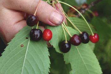 wild sweet cherries