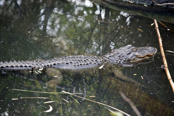 an American alligator