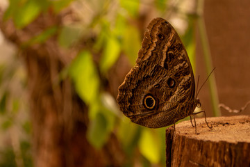 butterfly with attractive wings simulating an eye