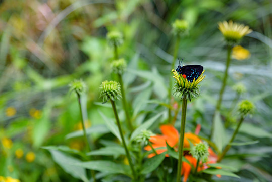 Atala butterfly (black with red and blue) sitting on a yellow flower head, blurred garden background with yellow and orange flowers