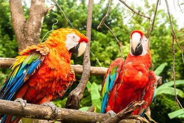 Ara Chloropterus, La Gran Sabana, Venezuela