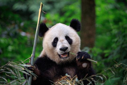 Panda Bear Munching/Eating Bamboo in Sichuan Province, China. Panda Wildlife Conservation