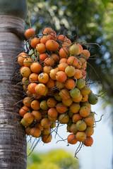 Orange Palm Tree Fruit Cluster