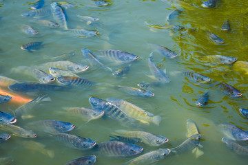 Freshwater tilapia is commonly used in farm systems or on earthen ponds to grow faster and produce better yields.