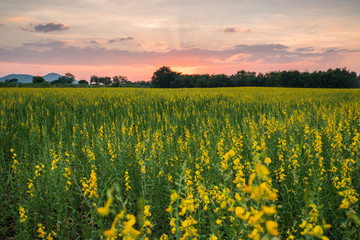 Beautiful sunset scenery and a yellow sunn hemp (Crotalaria juncea) field