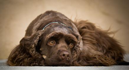 Cocker Spaniel dog outdoor portrait lying down resting head on ground