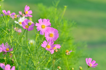 Pink of cosmos flower field with blue sky and cloud background