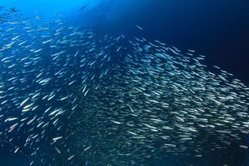 Sardines fish live in ocean