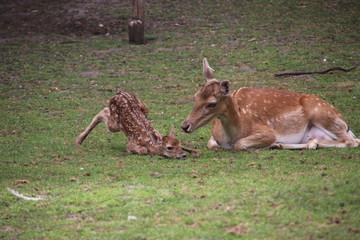 Just born venison in a public animal farm in Nieuwerkerk aan den IJssel.