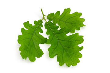 Sprig of oak with three leaves on a white background