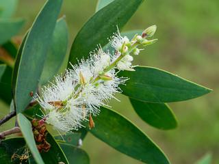 Close up of Melaleuca quinquenervia flower.