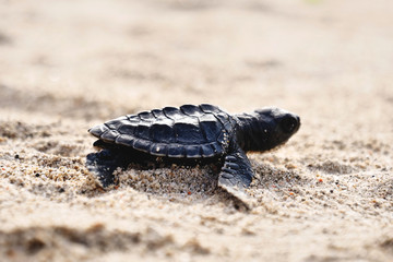 Portrait of a little turtle, while it just came out from the sea and moves on the sand. Concept: Nature, animal, wild