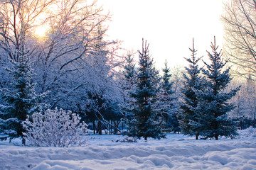 Winter pine trees landscape