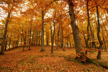 Beautiful autumn forest full of colors.Pomerania ,Poland