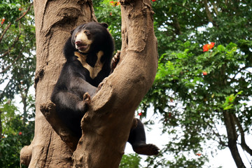 A bear is resting on a tree branch waiting to find something to eat. Concept of wild animals, relaxation, safari.