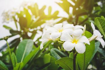 Frangipani flowers on tree with gradient