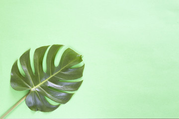 Green monstera tropical leaf on green background...