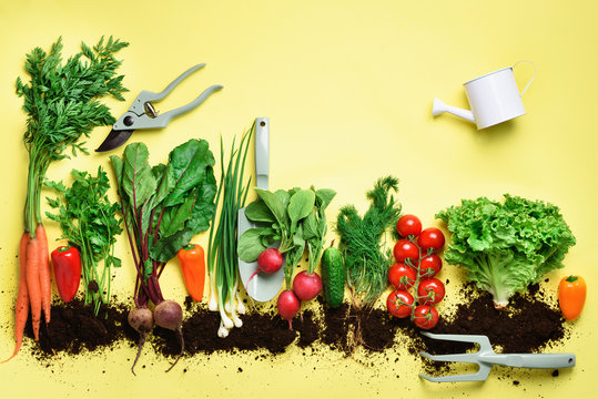 Organic vegetables and garden tools. Top view. Carrot, beet, pepper, radish, dill, parsley, tomato, lettuce on yellow background with copy space. Veggies growing in soil. Vegan, eco concept
