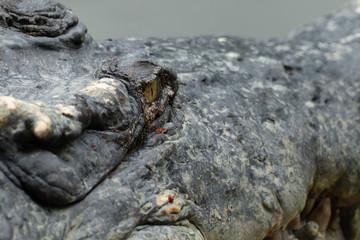 close up of a head crocodile