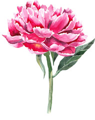 Pink peony separate flower on white background.