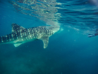 Tourists swim in the sea with whale sharks near the city of Oslob on the island of Cebu, Philippines. Watch the feeding of sharks in nature..