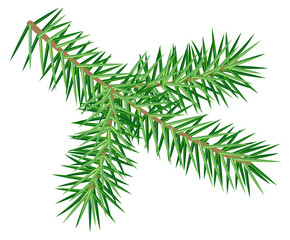 Green spruce branch isolated on white background