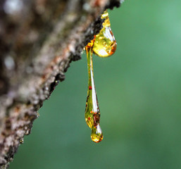 Resin on a tree in orchard