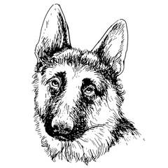German Shepherd hand drawn vector
